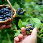 blueberries for inflammation